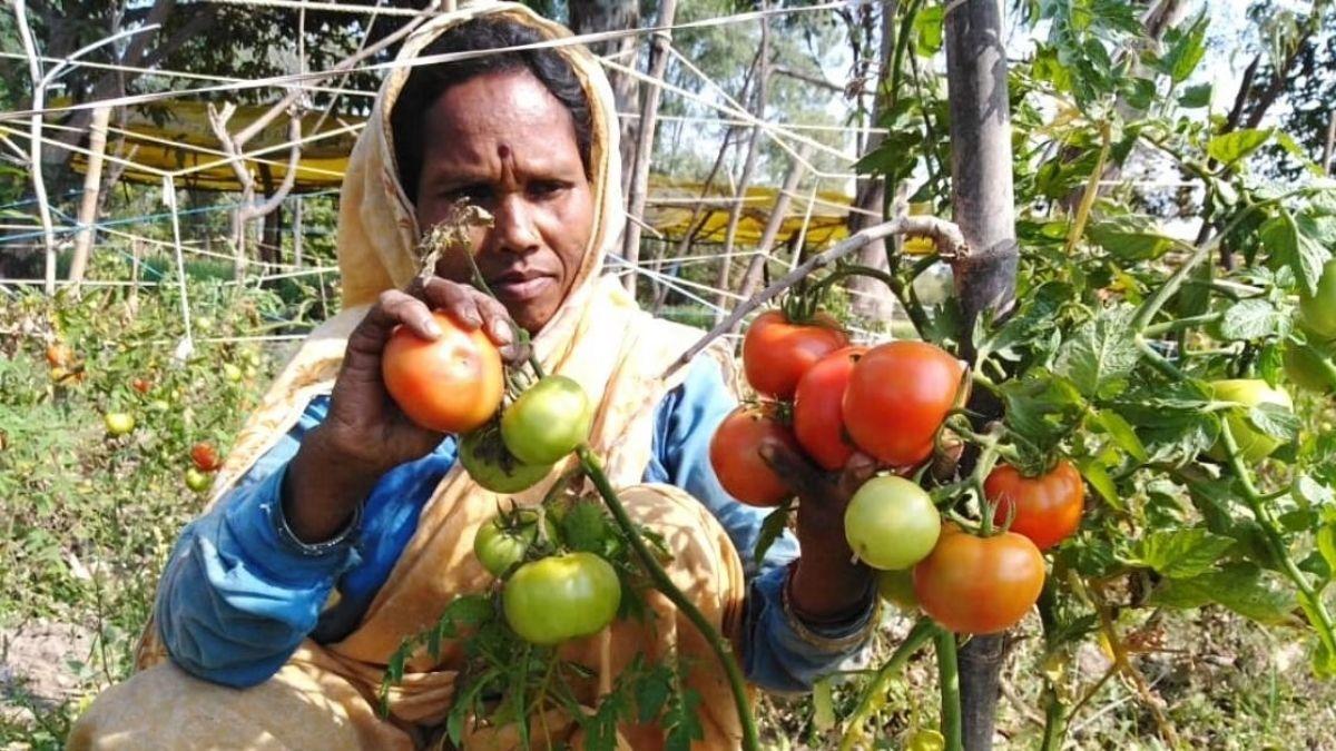 Organic tomatoes farming in bihar