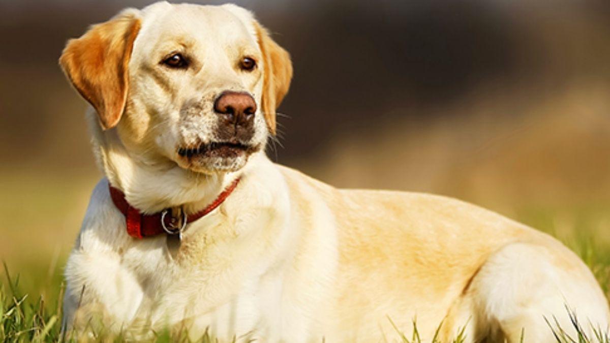 Dog vivad
