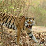 कैमूर के जंगलों में टहलते दिखे बाघ, निवासी बोले 50 सालों से यहीं रहते हैं – इलाके को किया जाएगा टाइगर रिज़र्व घोषित