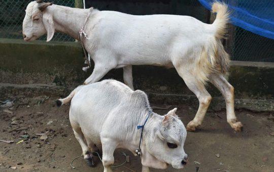 Rani dwarf cow